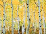 USA  Colorado  Rocky Mountains  Fall Colors of Aspen Trees