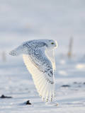 USA  Minnesota  Vermillion Snowy Owl in Flight