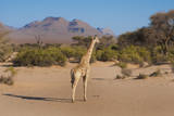 Kunene  Namibia Pale Giraffe with Trees in Puros Conservancy