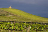 USA  Washington Syrah Vines at Red Willow Vineyard  Yakima Ava