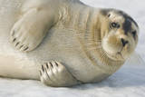 Norway  Spitsbergen  Greenland Sea Bearded Seal Pup Rests on Sea Ice
