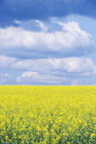 Czech Republic  Bohemia  Canola Field and Clouds