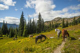 Washington  North Cascades  Slate Pass Horses and Mules Foraging