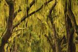 USA  Georgia  Savannah  Spanish Moss Covered Oaks