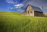 USA  Washington  Palouse Old Barn in Field of Spring Wheat (Pr)
