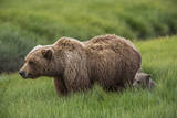USA  Alaska  Brown Bear and Cub