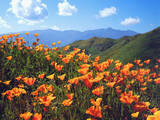 USA  California  Lake Elsinore California Poppies Cover a Hillside
