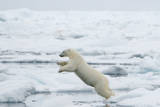 Norway  Spitsbergen Polar Bear Jumps from Ice Floe to Ice Floe