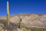 Argentina  Salta  Cardones National Park Cardon Cactus