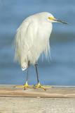 USA  Florida  Daytona Beach  Snowy Egret