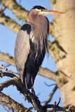 Great Blue Heron Perched in Tree  Beaverton  Oregon  USA
