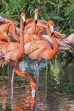 USA  Florida  Orlando  Pink Flamingos  Gatorland
