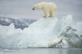 Norway  Spitsbergen  Woodfjorden Polar Bear Atop a Glacial Ice Floe