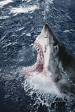 Head of Great White Shark