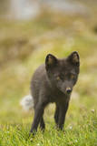 Norway  Western Spitsbergen Arctic Fox Vixen in Blue Phase
