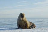 Greenland Sea  Norway  Spitsbergen Walrus Rests on Summer Sea Ice