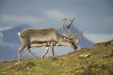 Norway  Spitsbergen  St Jonsfjorden Svalbard Reindeer Buck Forages