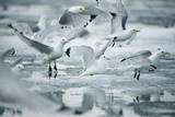 Norway  Spitsbergen Flock of Black-Legged Kittiwakes Take Flight
