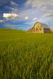 USA  Washington  Palouse Old Barn in Field of Spring Wheat (Pr)
