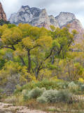 USA  Utah  Zion National Park  Cottonwood Trees in Zion Canyon