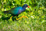 USA  Florida  Immokalee  Purple Gallinule