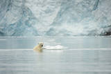 Norway  Spitsbergen  Fuglefjorden Polar Bear Swimming