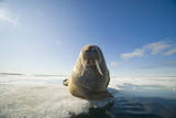 Norway  Spitsbergen  Nordauslandet Walrus Resting on Pack Ice
