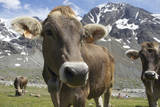 Italy  Stelvio  Cattle of the Bruna Alpina or 'Alpine Brown' Breed