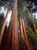 USA  California  Sierra Nevada Old Grown Sequoia Redwood Trees