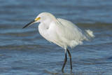 USA  Florida  New Smyrna Beach  Snowy Egret