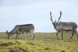 Norway  Spitsbergen  St Jonsfjorden Svalbard Reindeer and Calf