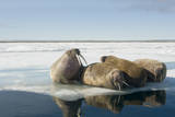 Norway  Spitsbergen  Nordauslandet Walrus Group Rests on Sea Ice