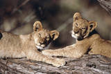 South Africa  Lion Cubs