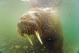 Norway  Spitsbergen Curious Young Bull Walrus Underwater