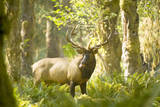 Washington  Olympic  Quinault River Roosevelt Elk Bull