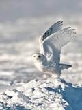 USA  Minnesota  Vermillion Snowy Owl Taking Off from Snow