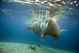 Norway  Spitsbergen  Nordaustlandet Walrus Bull Swims Underwater