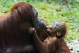 Malaysia  Sarawak  Semenggoh Nature Reserve  Orangutan and Baby