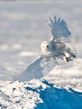 USA  Minnesota  Vermillion Snowy Owl Landing on Snow