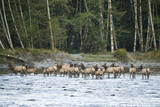 Washington  Olympic  Quinault River Roosevelt Elk Herd Crossing