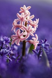 Pink Hyacinth in Field of Blue Hyacinths