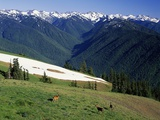 Deer Grazing Along Hurricane Ridge
