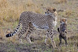 Mother Cheetah with Her Baby Cub in the Savanah of the Masai Mara Reserve  Kenya Africa