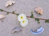Morning Glory Among Seashells