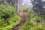 Deer on Trail in Mount Rainier National Park