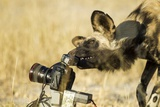 Wild Dog and Remote Camera  Moremi Game Reserve  Botswana