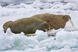 Walrus on Pack Ice on Spitsbergen Island
