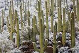 Saguaro Cacti in Snow