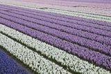 Rows of Colorful Hyacinths Grown as Crop in Lisse  Netherlands (Holland)