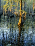 Cypress Tree and Bladderwort Flowers in Swamp